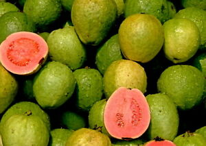 Echte Guave Samen, Psidium guajava, Guava, leckeres Obst,Früchte nach 2-4 Jahren