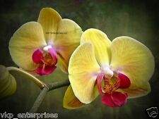 20 Phalaenopsis Moth Orchid Flower Seeds Just Harvested USA Grown Yellow & Pink