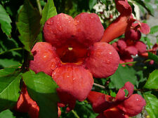 Red Trumpet Vine, Trumpet Creeper Campsis Radicans, Bare Root 1 Plant Medium