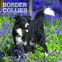 Border Collies 2020 Square FOIL Wall Calendar by Browntrout Free Post