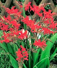 10 Red Lucifer Crocosmia Flower Seeds + Gift & Comb S/H