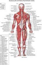 "Human Body Anatomical Chart Muscular System Fabric poster 36"" x 24""  Decor 02"