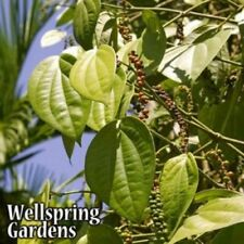 Piper nigrum Black Pepper Live Plant spice garden herb culinary peppercorn