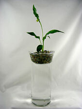 Peace Lily & Fresh water Aquarium and Terrarium with Live Plant