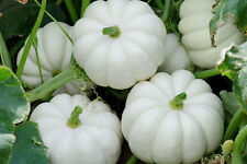 (5) Casperita F1 Hybrid Pumpkin Seeds - Mini White Pumpkin Seeds -  Combined S&H