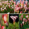 100Pcs Oxalis Versicolor Flowers Seeds Rare Flowers For Garden & Home Plant