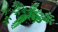 Jacaranda Mimosifolia( FLAMBOYAN RED) TREE LIVE 4''-8'' (Delonix regia)