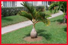 Bottle Palm Tree Seeds Exotic Plants Bonsai Tropical Ornamental Evergreen Plant