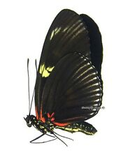 Unmounted Butterfly/Nymphalidae - Heliconius doris dives, Colombia, green form