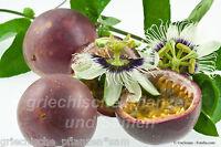 Passiflora Edulis purple Giant 6 frische Samen essbare Früchte Kübelpflanze
