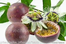 Passiflora edulis Purple GIANT 6 SEMI FRESCHI Essbare FRUTTI kübelpflanze