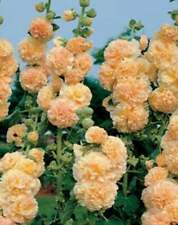 25 Apricot Hollyhock Seeds Perennial Giant Flower Garden Seed Flowers Seed 30