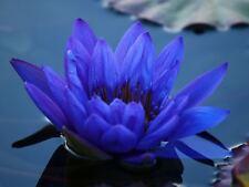 blue water lily Pond plants water lilies koi aquatic plants fish