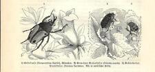Stampa antica INSETTI COLEOTTERO Eudicella Cetonia 1891 Old antique print