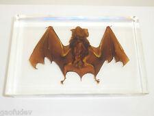 Large Bat Intermediate Horseshoe Bat Education Real Animal Specimen