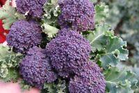 Purple Sprouting Broccoli Seeds, NON-GMO, Heirloom, Variety Sizes, FREE SHIP