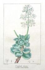 CRASSULA LACTEA,FLOWERING LACTEA   Bessa Original Antique Botanical print c1820