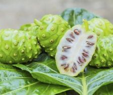 150 seeds Noni, Indian Mulberry, Cheese Fruit, Great For The Body And Mind