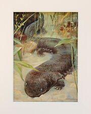 SALAMANDRA GIGANTE-Animal print 1916 montata antiquariato d'epoca litografia a colori