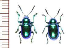 Chrysomelidae:Platycorynus japonicus japonicus pair ,A1, unmounted,Japan,beetle