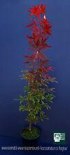 ACER PALMATUM ATROPURPUREUM cv ''FIRE GLOW'' v18 pianta acero giapponese FG1
