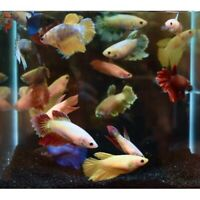 Assorted Halfmoon Female Betta Tropical Freshwater Aquarium Fish Live Bettas