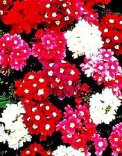 "Verbena hortensis  ""Ideal Florist Strain"" x 50 Seeds. Loved by florists"