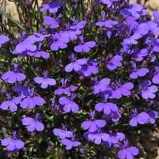 Flower Seeds Lobelia Crystal Palace Hanging Pot Containers Pictorial Packet UK