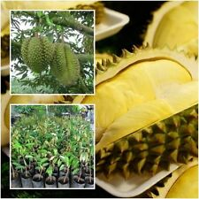 """Durian Tree plant grafted """"Monthong"""" Tall 18"""" delicious Fruit Plant From Thai"""