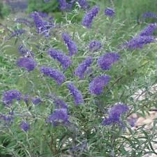 Buddleia Nanho Blue - Long Flowering Butterfly Garden Shrub