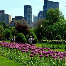 10X Purple Giant Allium Giganteum Seeds Ornamental Flower Home Garden Plant Acc