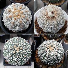 Cactus Astrophytum Superkabuto Seeds Mixed succulent garden Rare : 100 pcs.