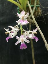 Rhynchostylis Retusa Fragrant Vandaceous Orchid Blooming Size Plant 1
