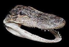 "Real Alligator Gator Head~Nautical Taxidermy Preserved Marine Specimen ~5""-6"""