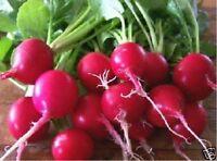 Radish- Cherry Belle-200 Seeds- BOGO 50% off SALE