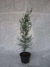 Italian Cypress, Cupressus Semperviren, Totem Pole, 75  - 100.cm inc. Pot X 2
