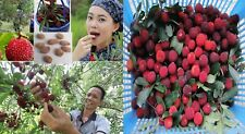 3x Myrica Rubra Chinesisch Erdbeeren Waxberry frisch Obst Samen Garten Baum #402