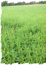 4 lb Buck Forage Oats  Seeds Prerferred by Whitetails