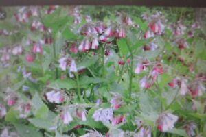 3 DWARF COMFREY PLANTS (Symphytum ibericum)