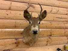 Shoulder Mount 8 Point Piebald Albino White Tail Deer Antler Taxidermy Wtd46