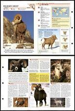 Bighorn Sheep #179 Mammals Wildlife Fact File Fold-Out Card