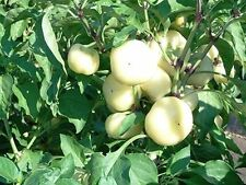 ungarische SÜSSE weisse Paprika 100% natürlich, 10 Samen, NEUE Sorte