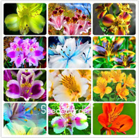 100 Pcs Seeds Peruvian Lily Plants Home Garden Flowers Bonsai Potted NEW 2018 Y