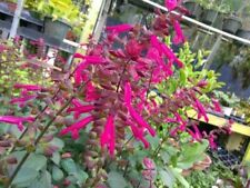"Salvia - Wendy'S Wish - 1 Live Plant 4"" Pot"