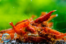20+2 Bloody Mary - Freshwater Neocaridina Aquarium Shrimp. Live Guarantee