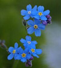 150 Samen blaues Wald-Vergissmeinnicht Myosotis sylvatica
