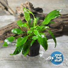 Cryptocoryne petchii Potted Live Aquarium Plants *Buy 1 Get 1 at 20% Off*