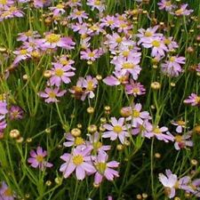 """sun AMERICAN DREAM pink coreopsis native butterfly 2.5"""" pot☆1 Live Potted Plant☆"""