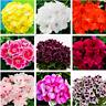100 PCS Seeds Geranium Plants Perennial Bonsai Flowers Pelargonium Peltatum Rare
