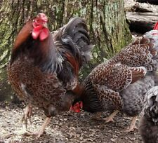 BLUE LACED RED WYANDOTTE HATCHING EGGS 12+